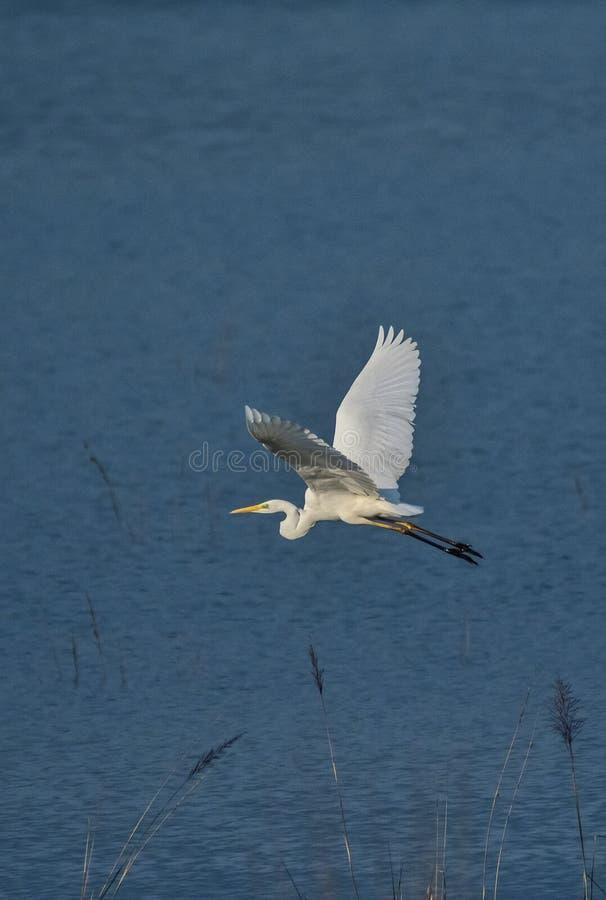 De vogel die van de veeaigrette over ramganga rive in een Indisch bos vliegen royalty-vrije stock afbeeldingen