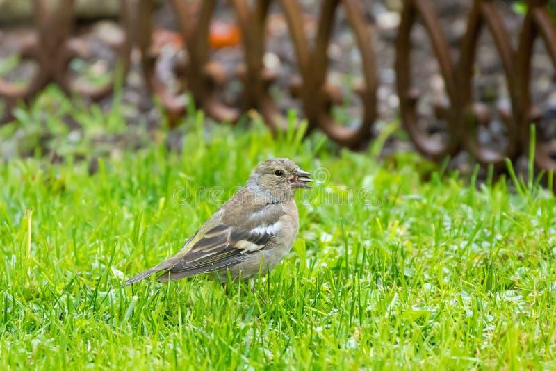 De vogel die van vinkpasserine zonnebloemzaad op gras in garde eten stock fotografie