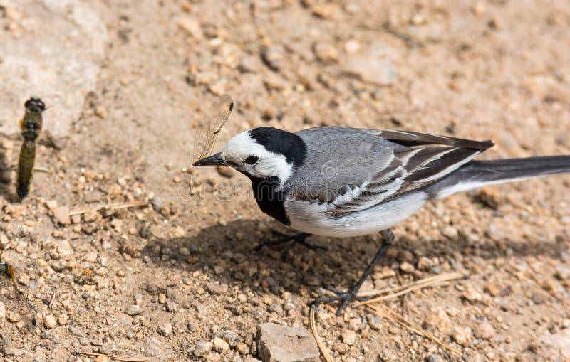 De vogel eet een libel stock fotografie