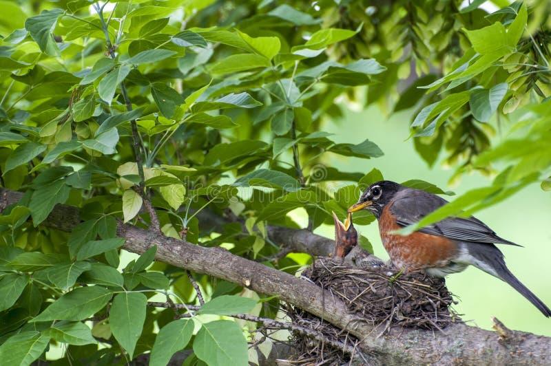 De vogel en de babyvogels van mammarobin in nest stock foto's