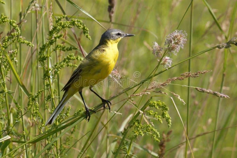 De vogel de gele Kwikstaart zingt onder de bloemen op een Zonnige weide in de zomer stock afbeelding