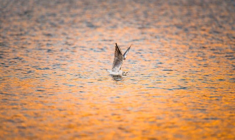 De vogel rekt vleugels uit terwijl het drijven op kleurrijk zonsondergang-gewezen op water stock afbeeldingen
