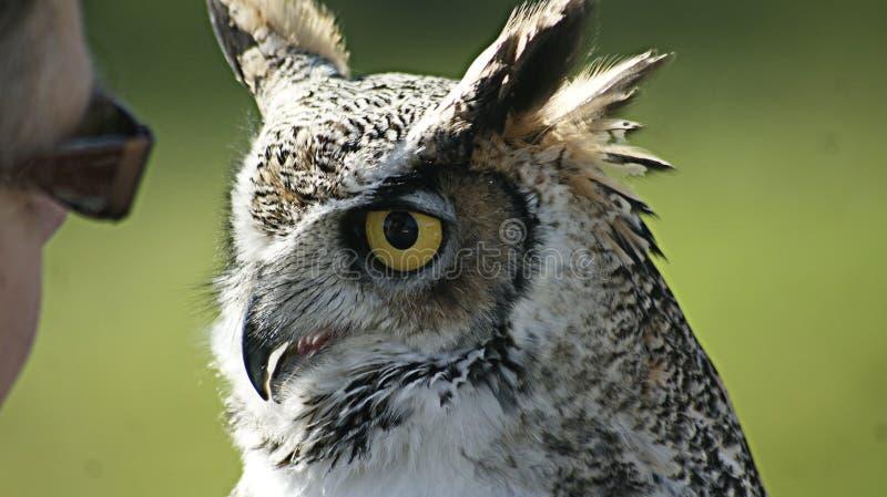 De vogel toont in de mooie uil van Norfolk stock afbeeldingen
