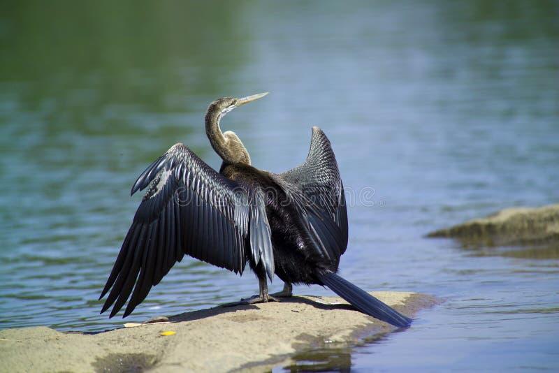 De vogel van Anhinga (anhinga Anhinga) stock fotografie