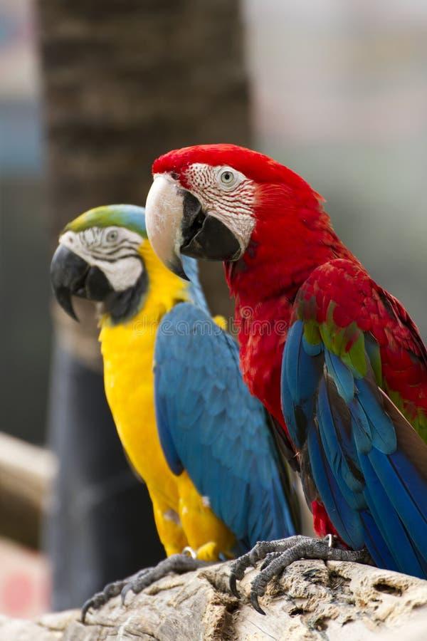 De Vogel van ara's royalty-vrije stock afbeelding