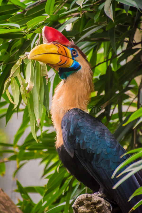 De vogel van Celebes hornbill met rode hoorn en geeloranje bekkleur royalty-vrije stock afbeeldingen