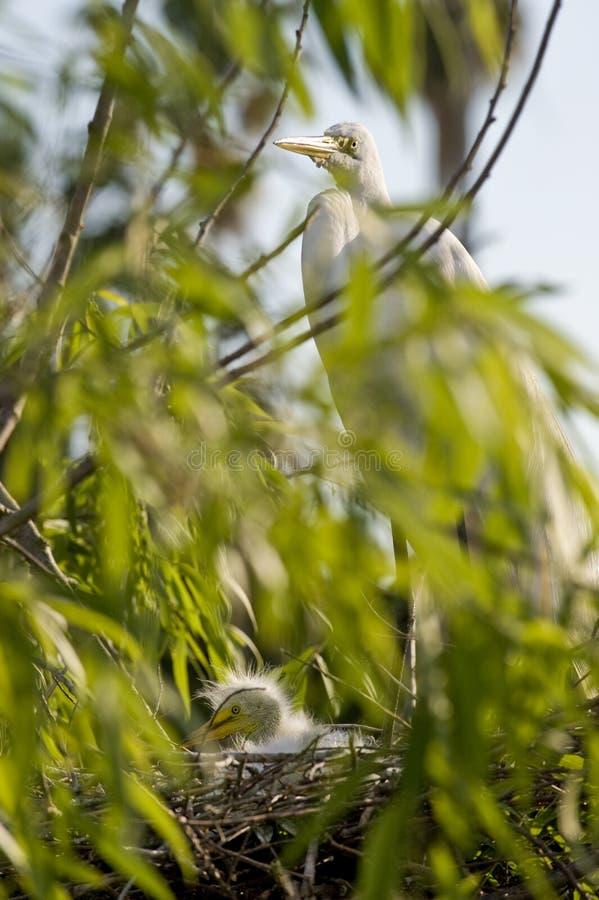 De vogel van de Aigrette van het vee met kuikens stock afbeelding