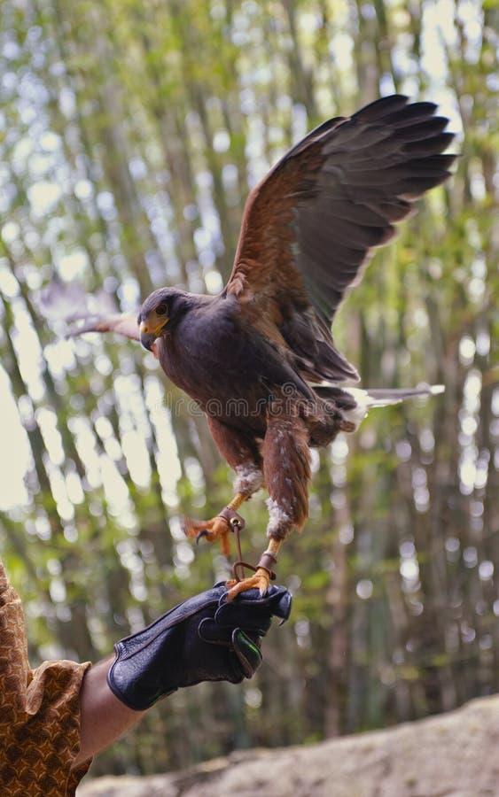 De vogel van de de holdingsHavik van de trainer stock foto's