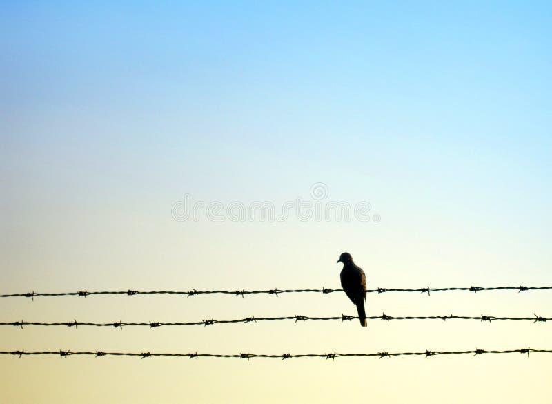 De vogel van de duif op weerhaakdraad