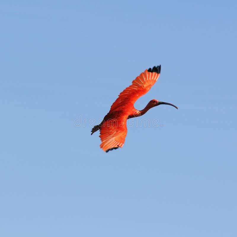 De vogel van de ibis stock foto