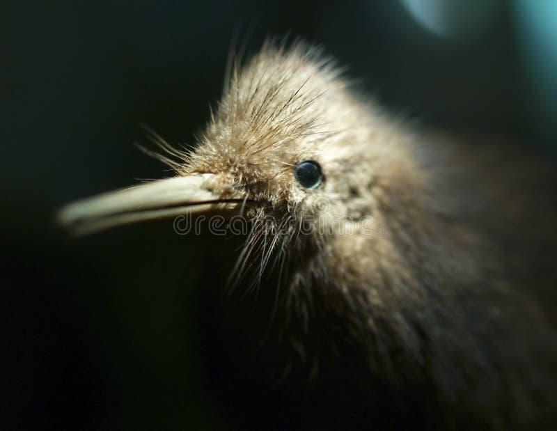 De vogel van de kiwi stock foto's