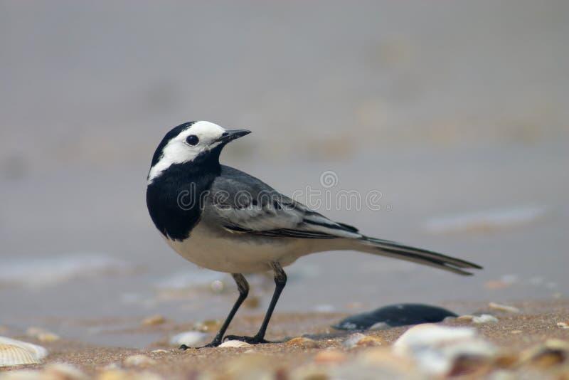 De vogel van de kwikstaart