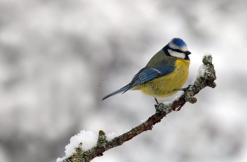 De vogel van de mees royalty-vrije stock foto