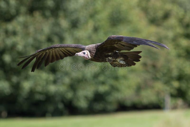 De vogel van de monachusaaseter van giernecrosyrtes vliegen het met een kap royalty-vrije stock afbeeldingen
