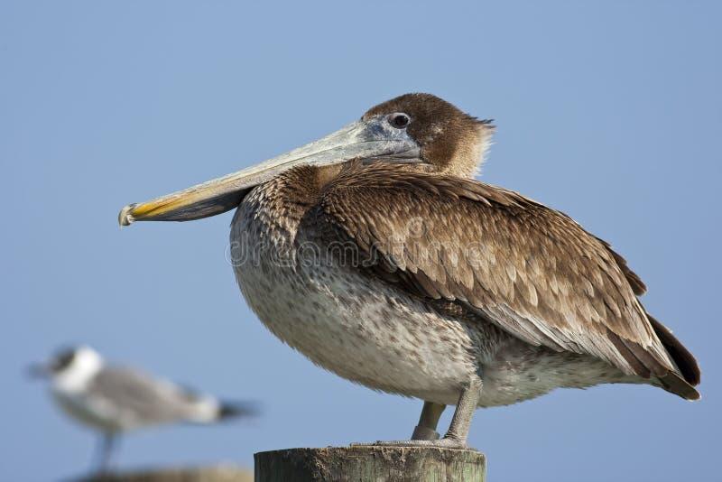 De Vogel van de pelikaan stock afbeeldingen