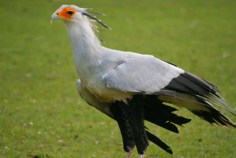 De Vogel van de secretaresse royalty-vrije stock foto