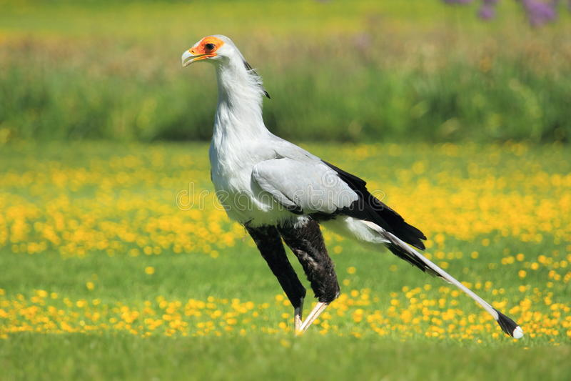 De vogel van de secretaresse royalty-vrije stock foto's