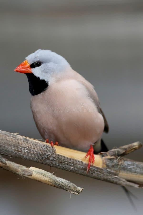 De Vogel van Grassfinch van Heck stock foto