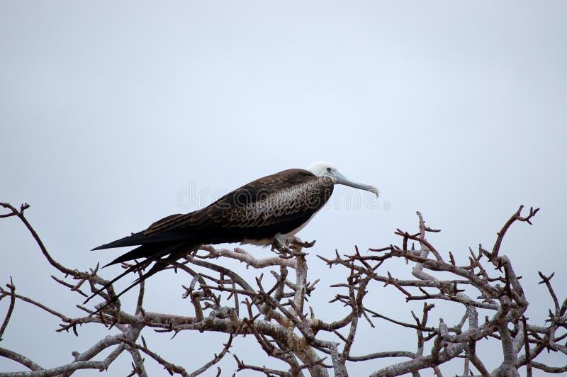 De Vogel van het fregat. royalty-vrije stock foto's