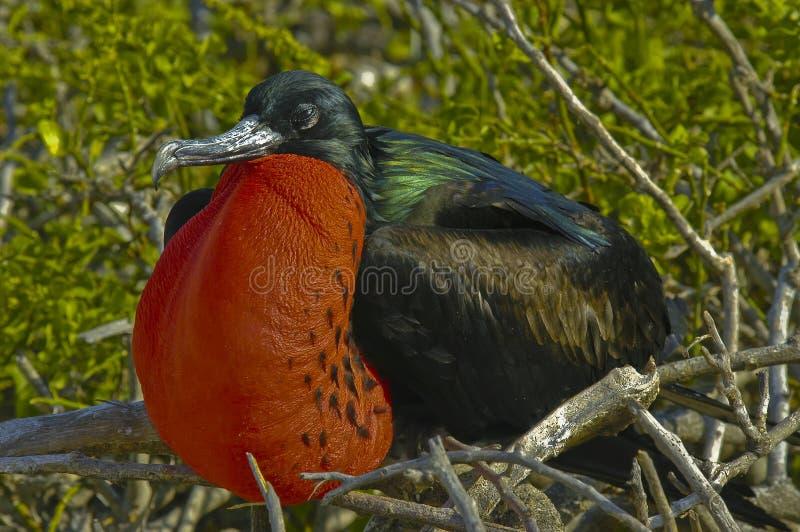 De Vogel van het fregat, de Eilanden van de Galapagos stock afbeelding