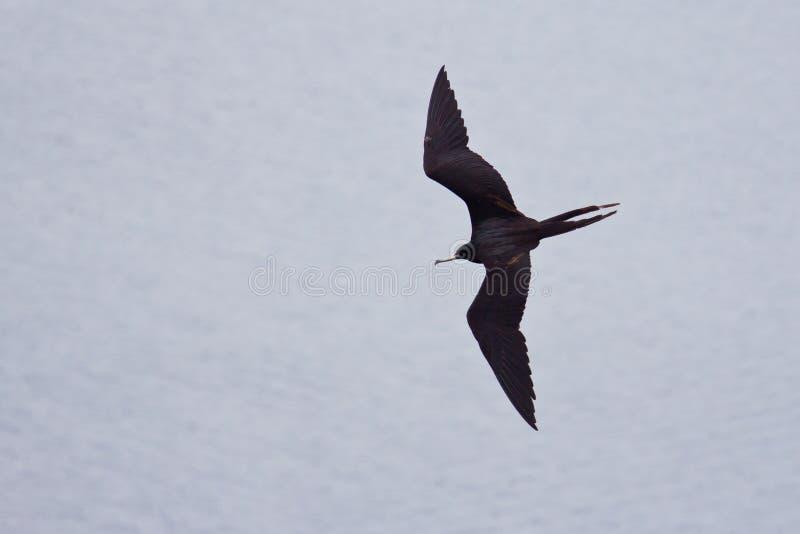 De vogel van het fregat tijdens de vlucht royalty-vrije stock afbeeldingen