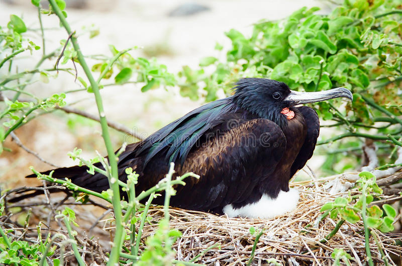 De vogel van het Fregat van de Galapagos het nestelen royalty-vrije stock afbeelding