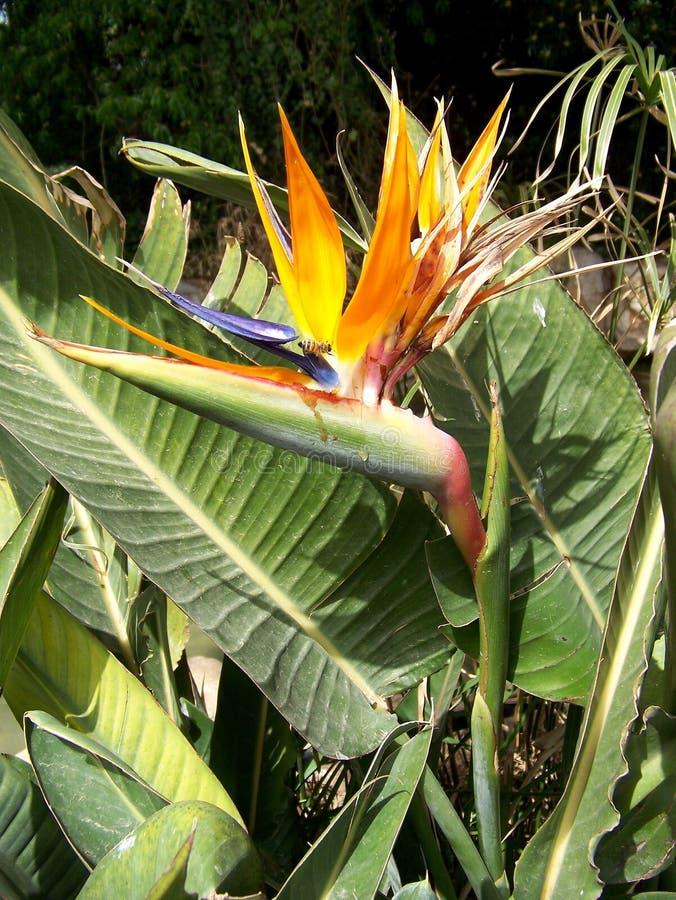 De Vogel van het paradijs royalty-vrije stock afbeeldingen
