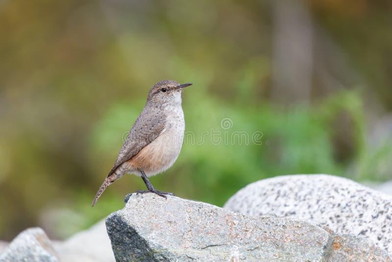 De vogel van het rotswinterkoninkje stock foto