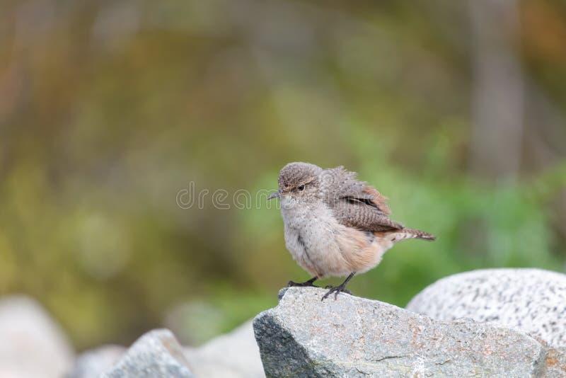 De vogel van het rotswinterkoninkje stock afbeelding