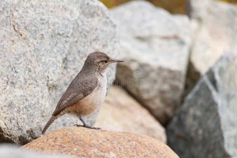 De vogel van het rotswinterkoninkje royalty-vrije stock fotografie
