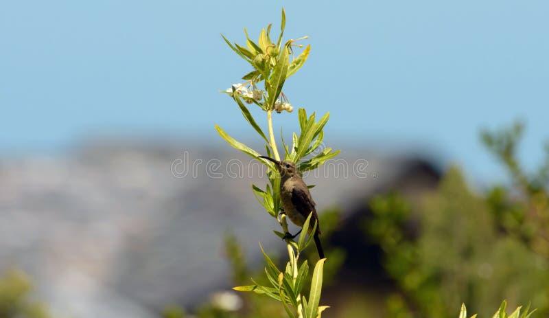 De vogel van de kaapsuiker, Promerops die cafer, op giftig zitten milweed stock fotografie
