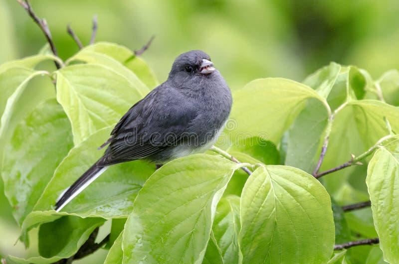 De vogel van lei het Donkere eyed Junco zingen in Kornoeljeboom stock afbeeldingen