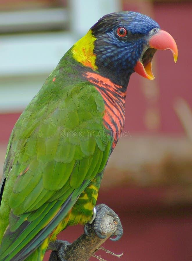 De Vogel van Lory stock afbeeldingen