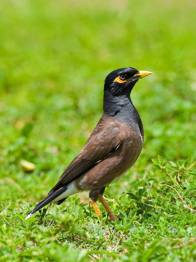 De Vogel van Myna stock afbeeldingen