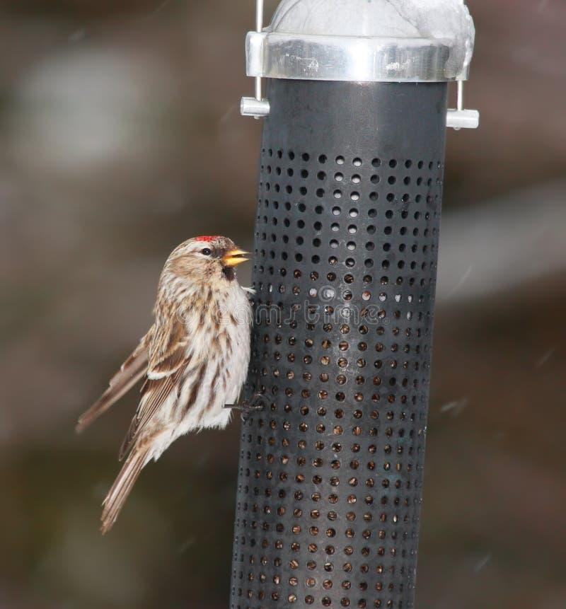De vogel van Redpoll royalty-vrije stock afbeelding