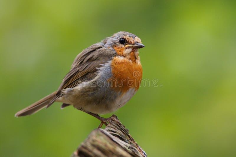 De vogel van Robin stock foto