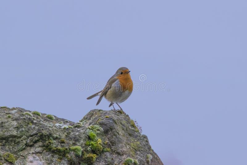De vogel van Robin op een steenachtige klip met blauwe achtergrond stock foto's