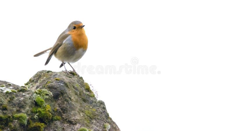 De vogel van Robin op een steenachtige klip met gewichtsachtergrond stock fotografie