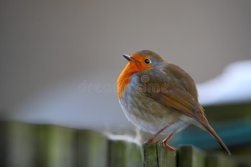 De vogel van Robin op de omheining royalty-vrije stock fotografie