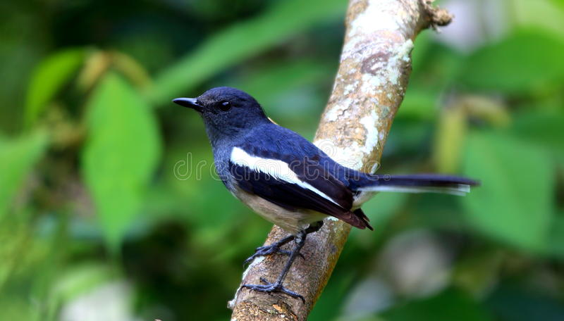De vogel van Robin van de ekster in Maleisië royalty-vrije stock fotografie