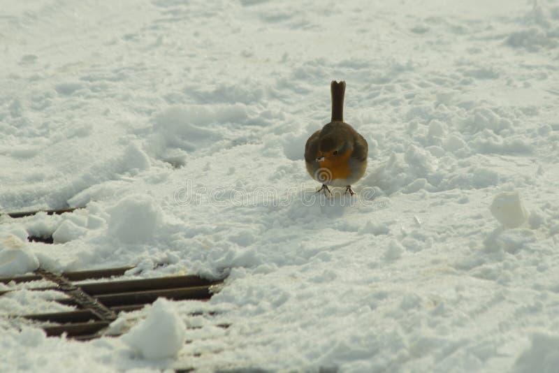 De vogel van Robin in de wintertijd van het sneeuwijs royalty-vrije stock foto's