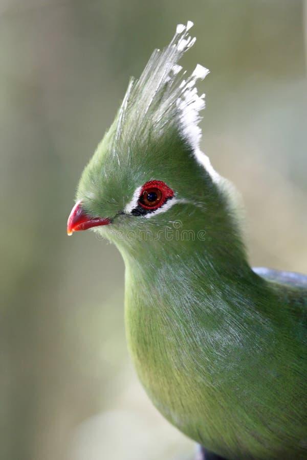 De Vogel van Turaco van Livingstone royalty-vrije stock afbeeldingen