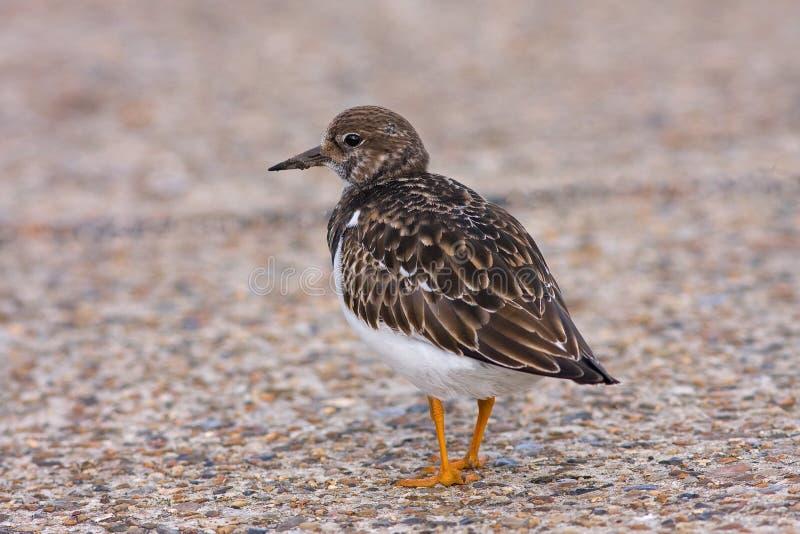 De vogel van Turnstone in Overeenkomst Kent het UK stock foto's