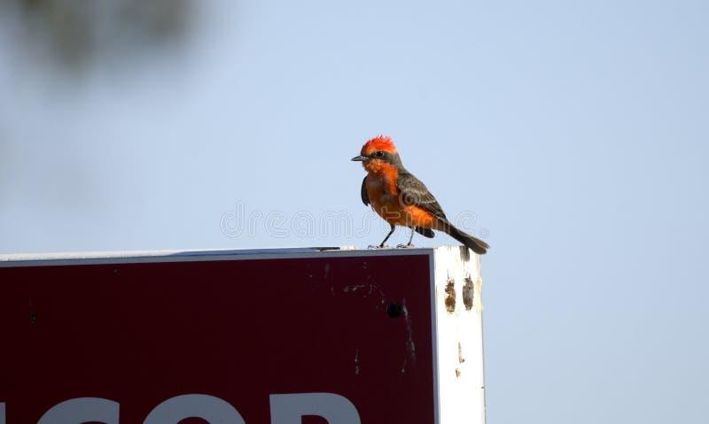 De vogel van de vermiljoenenvliegenvanger, de woestijn van Tucson Arizona stock foto's
