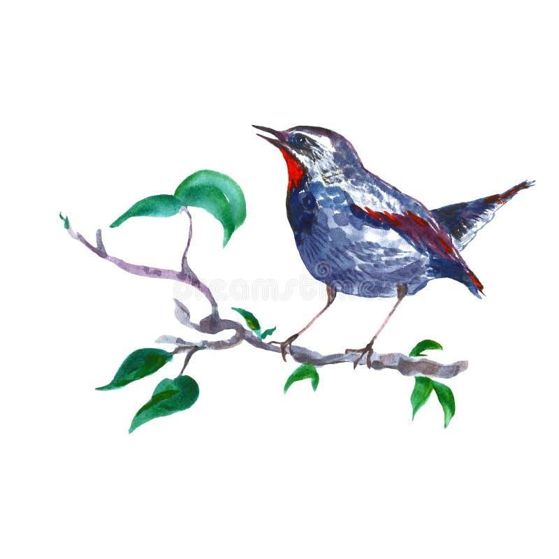 De vogel van de waterverfnachtegaal op boomtak, op witte achtergrond wordt geïsoleerd die De lentehand geschilderde illustratie i royalty-vrije illustratie
