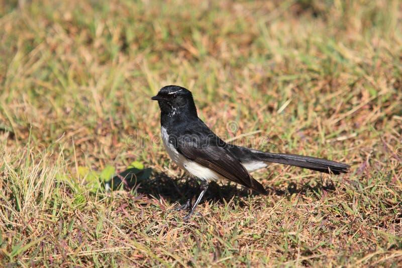 De vogel van Willie Wagtail op droog gras royalty-vrije stock foto's