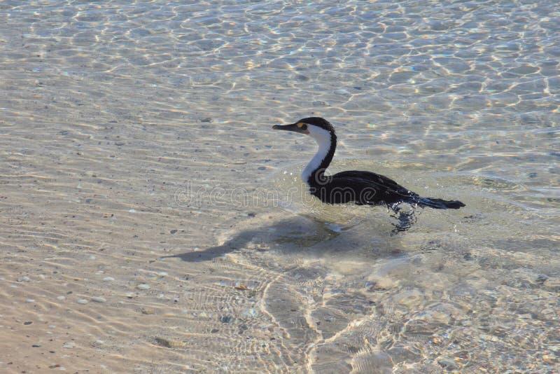 De vogel zwemt in ondiep water royalty-vrije stock fotografie