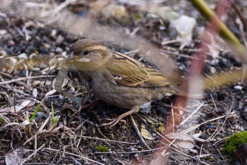 De vogelpasser van de huismus vrouwelijke domesticus met plastiek lente bij haar bek royalty-vrije stock foto