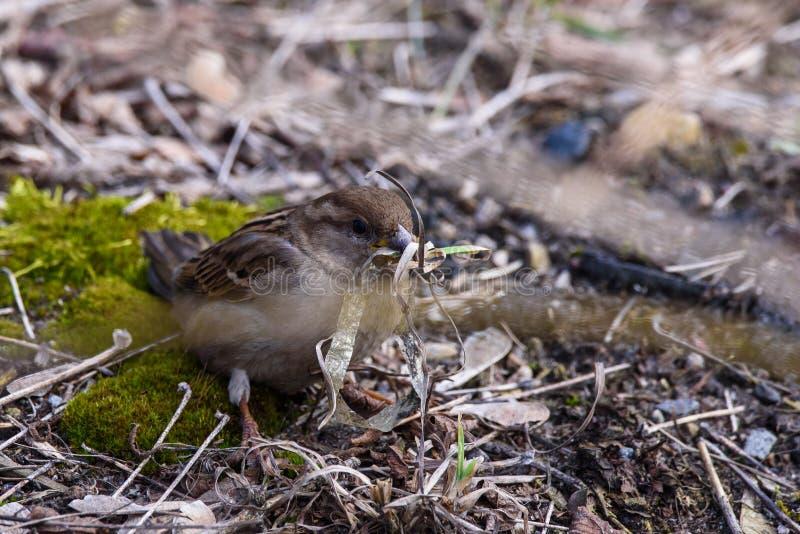 De vogelpasser van de huismus vrouwelijke domesticus met plastiek lente bij haar bek stock fotografie