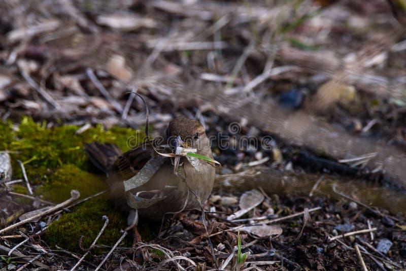De vogelpasser van de huismus vrouwelijke domesticus met plastiek lente bij haar bek royalty-vrije stock afbeeldingen